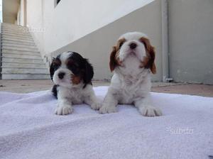 Cuccioli di Cavalier King Charles Spaniel