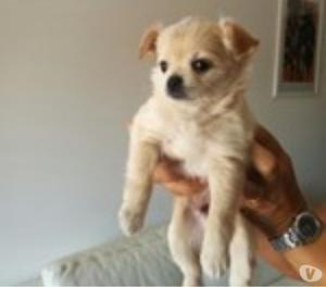 Cuccioli di Chihuahua a pelo lungo