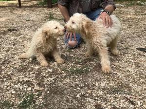 Cuccioli di Lagotto Romagnolo