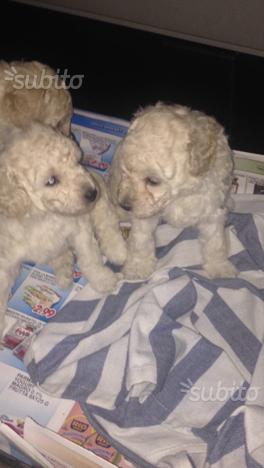 Cuccioli di barboncino toy nati in casa