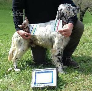 Cuccioli setter inglese del pluricampione ghibli