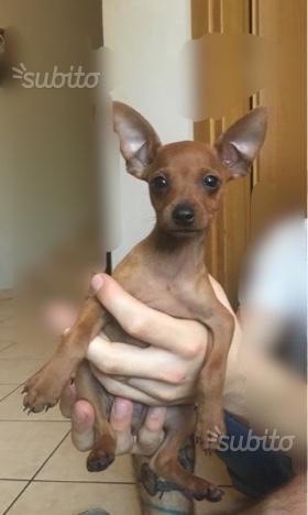 Cucciolo maschio di pincher