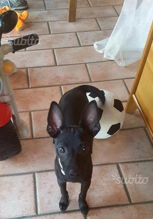 Cucciolo pincher chihuahua 4 mesi