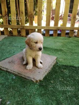 Disponibili cuccioli Golden Retrevier