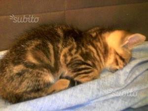Gattino tigrato di due mesi
