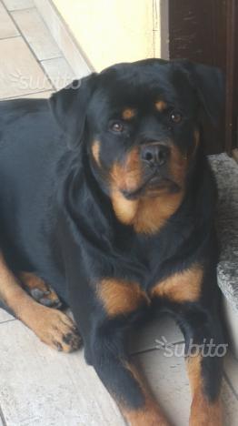 Regalo Rottweiler femmina di 22mesi