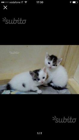 Regalo gattini maschio