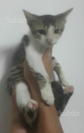 Tom gattino bianco e grigio
