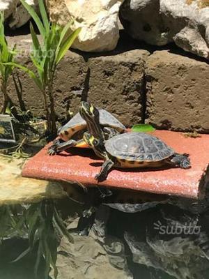 2 tartarughe acquatiche posot class for Tartaruga orecchie rosse prezzo