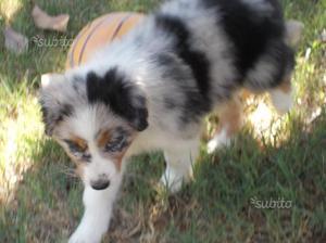 Australian Shepherd - Blue Merle