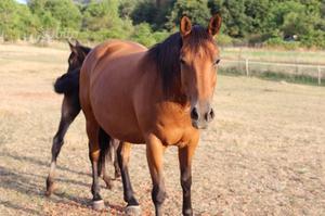 Cavalla quarter horse più puledro