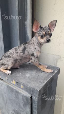 Chihuahua maschio e femmina