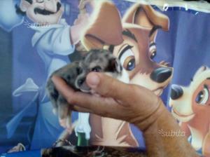 Chihuahua super mini toy da borsetta
