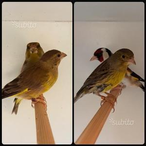 Coppia verdoni più coppia cardellino canarina