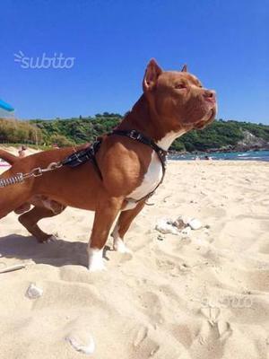 Cuccioli Pitbull Ukc con pedigree