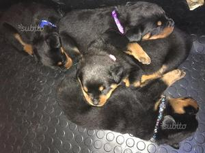 Cuccioli di rottweiler con pedigree