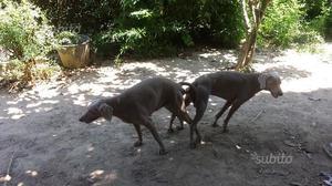 Cuccioli di weimaraner puri con pedigree enci ital