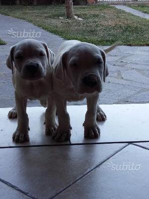 Cuccioli dogo argentino pedigree