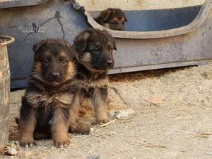 Cuccioli pastore tedesco quasi regalo