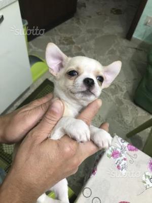 Cucciolo di chihuahua maschio colore bianco crema
