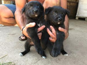 Disponibili cuccioli pastore Australiano/Belga