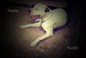 Dogo Argentino Femmina