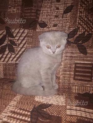 Gattino Scottish Fold Lilac