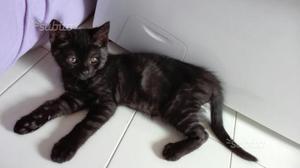 Hermes, gattino nero tigrato