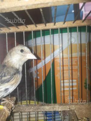 Ibrido cardellino canarina