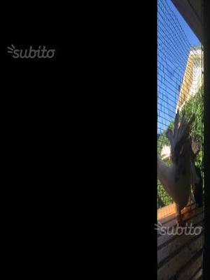 Pavoncelle con coda colorata