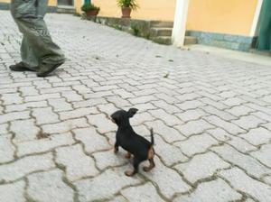 Cane pincher posot class for Pincher cucciolo