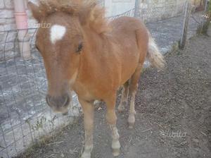 Pony femmina falabella