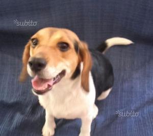 Regalo Beagle Tricolore femmina di un anno
