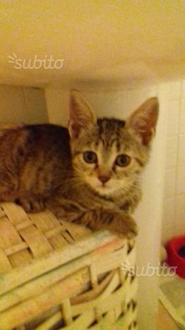 Regalo gattina di tre mesi