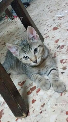 Regalo gattino maschio di 3 mesi
