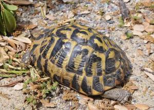 Tartarughe hermanni maschi posot class for Prezzo tartarughe
