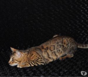 Maschio Bengal disponibile per monte