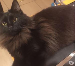 Smarrito gatto Cerratina zona via Tevere