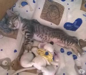 Gattina tigrata di 1mese e mezzo troppo bella in adozione