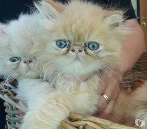 Gattini persiani puri bellissimi