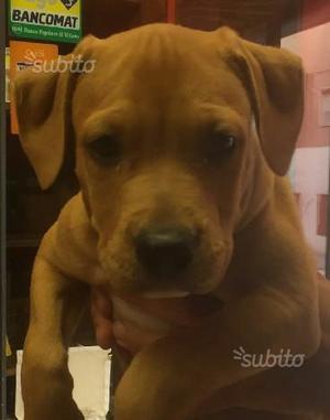 Athos cucciolo di PITBULL (Pit Bull) 3 mesi pronto