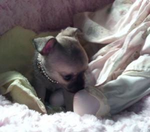 Chihuahua con Pedigree Enci