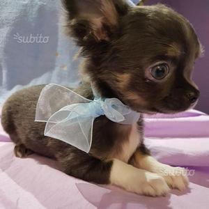 Chihuahua maschio a pelo lungo blu e bianco