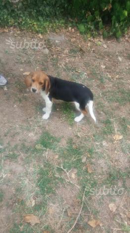 Cuccioi maschi e femmine di beagle
