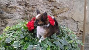 Cuccioli Chihuahua