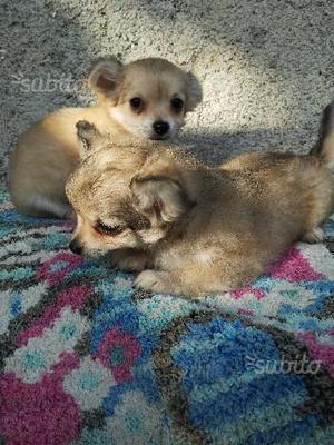 Cuccioli Chihuahua pelo lungo