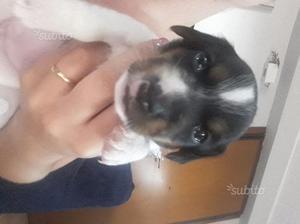 Cuccioli Jack Russell