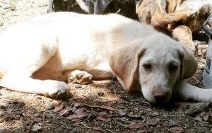 Cucciolo di 2 mesi e mezzo taglia media