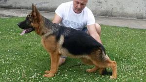 Cucciolo di pastore tedesco