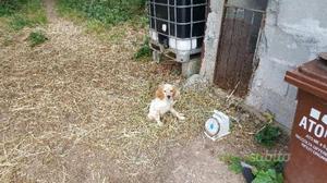 Cucciolo di setter inglese con pedigree